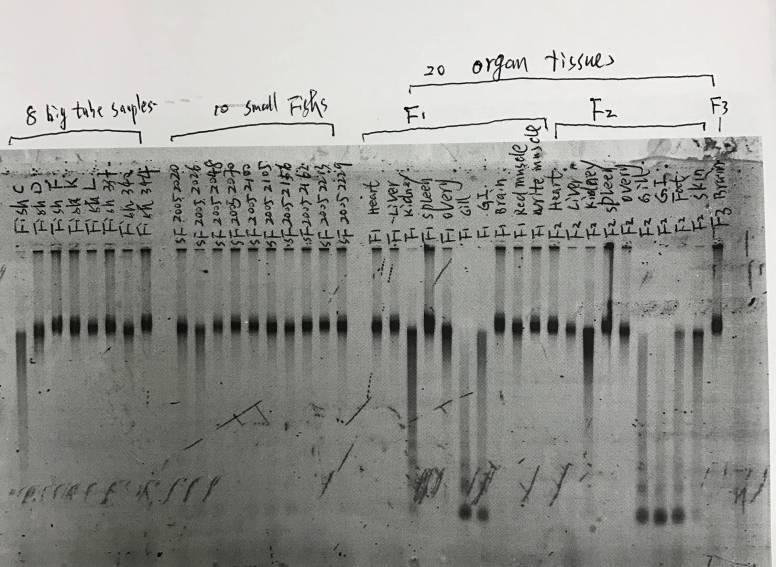 Aviv_fishsamples_DNAintegrity